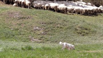 Owczarki dla hodowców owiec z Warmii i Mazur, by strzegły stad przed wilkami