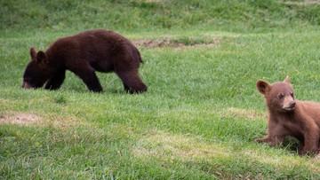 Dwa niedźwiadki zatrzasnęły się w vanie. Wzywały pomoc [WIDEO]