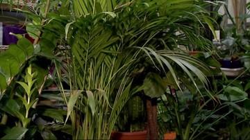 Rośliny domowe hitem w pandemii. Zwłaszcza te, które oczyszczają powietrze