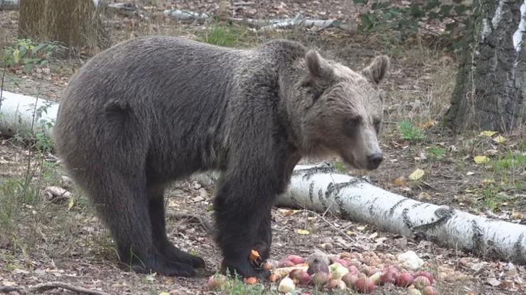 """Niedźwiedzi azyl w Poznaniu. Dzięki pomocy widzów """"Wydarzeń"""" misie zapadną w zimowy sen"""