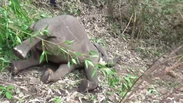 Kilkanaście martwych słoni. Prawdopodobnie zabił je piorun
