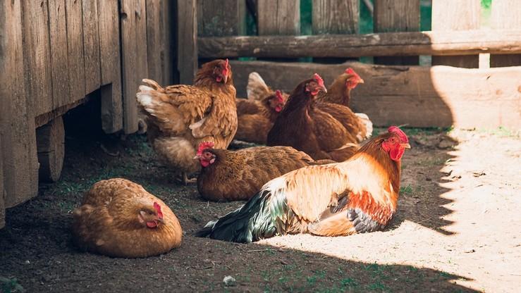 """""""Wolne od antybiotyków"""". Tajlandzcy producenci zmieniają przemysł drobiarski"""