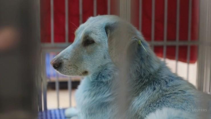 Niebieska sierść u psów. Naukowcy szukają przyczyny