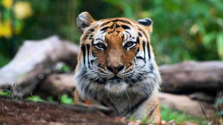 Tygrysica zakażona koronawirusem. Zaraziła się od swojego opiekuna