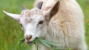 W miasteczku na Sycylii ogrodnikiem jest koza