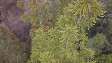 Tajna misja w Australii. Ratowali z pożarów prehistoryczny gatunek drzew