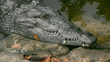 Podczas przeszukania domu policja znalazła w piwnicy krokodyla