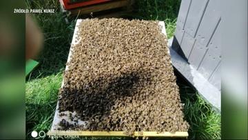 Walka z komarami zabija też pszczoły. Przekonał się o tym Paweł Kukiz