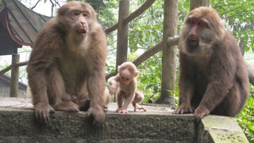 Jak Tarzan. Znaleziono dziewczynkę, która żyła w stadzie małp