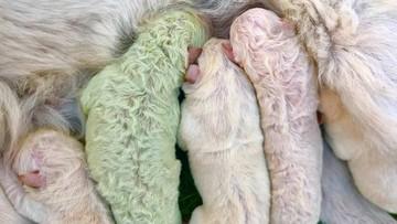 Na Sardynii urodził się... zielony szczeniak