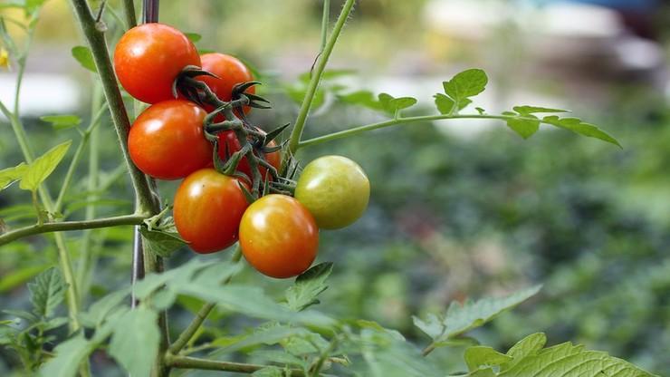 Polaka zmiażdżyła winda na plantacji pomidorów, Holender może zapłacić 125 tys. euro grzywny