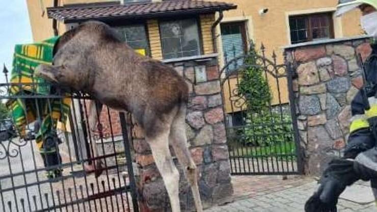 Skarżysko-Kamienna: łoś zawisł na ogrodzeniu. Zwierzę nie przeżyło
