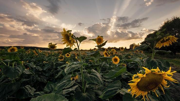 Właściciele pola słoneczników przeżyli inwazję fanów Instagrama. Bo zdjęcia z kwiatami to teraz hit