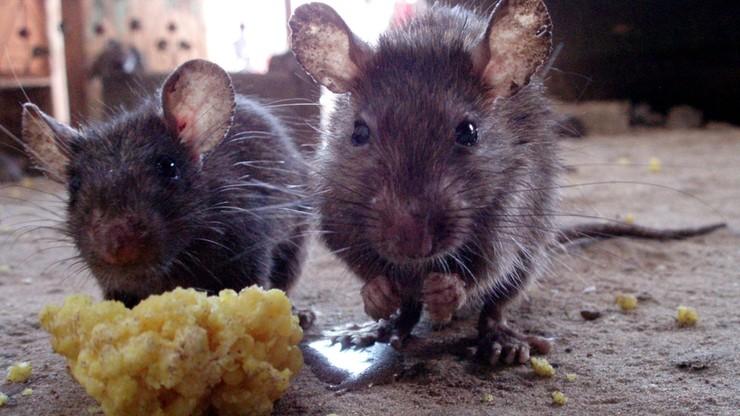Inwazja szczurów. Wszystko przez COVID-19