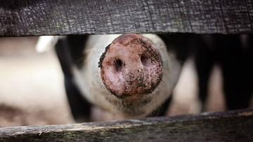 Do Polski trafiła wieprzowina skażona środkiem do odrobaczania. Dotarła z Barbadosu przez Belgię