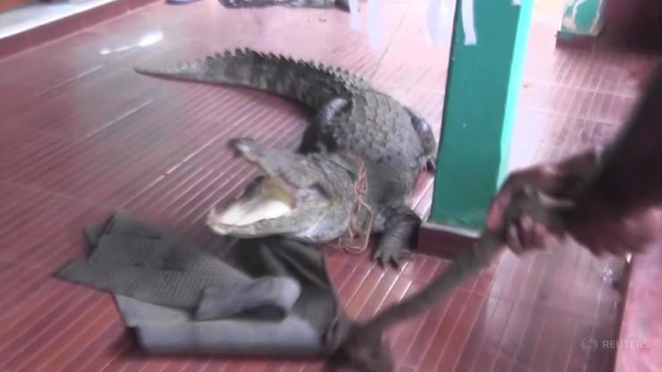 Niebezpieczne spotkanie. Krokodyl na ganku, drzwi otworzyła sześciolatka