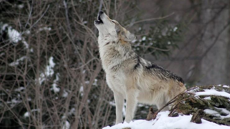 42-latek miał zastrzelić wilka. Zwierzę mieszkało w parku narodowym, opiekowało się szczeniętami