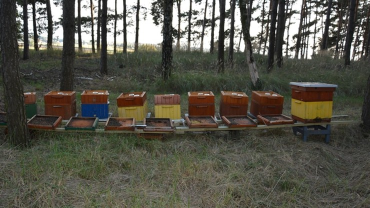 Śmierć 420 tysięcy pszczół. Policja zatrzymała podejrzanego o otrucie owadów
