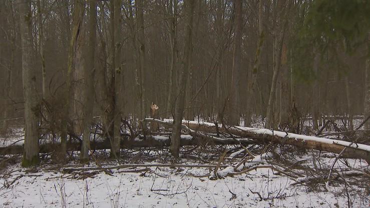 """Lasy """"aktualizują limity cięć"""" w Puszczy Białowieskiej. Aktywiści: to będzie komercyjna eksploatacja"""
