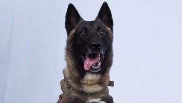 """Trump opublikował zdjęcie psa pomagającego w ujęciu Bagdadiego. """"Wykonał świetną robotę"""""""