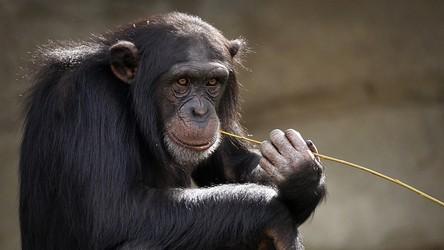 Szympansy i goryle po raz pierwszy w historii idą ze sobą na wojnę
