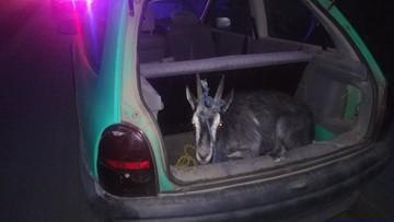 Zabrał kozę na spacer. Oplem Corsą. Grożą mu 2 lata więzienia, bo był pijany i bez prawa jazdy