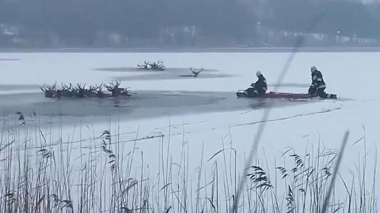 Pod jeleniami załamał się lód. Zakończyła się akcja wydobywania martwych zwierząt