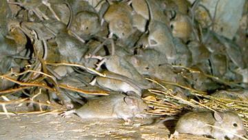 Plaga myszy w Australii. Wymusiły ewakuację więzienia