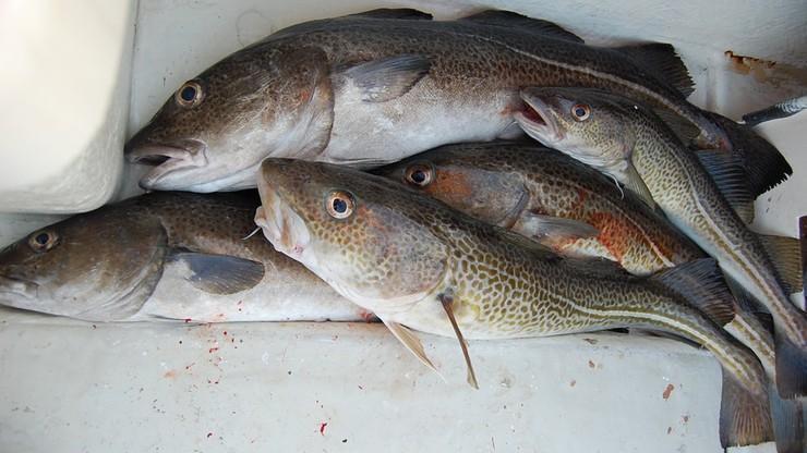 Nie możecie łowić dorsza, to łówcie śledzie. KE chce zmniejszyć kwoty połowowe