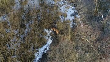 Nie żyje krowa-wyspiarka. Została odnaleziona, padła podczas załadunku do transportu