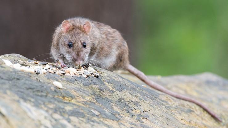 """Szczury i pluskwy """"współbiesiadnikami"""". Nietypowy pomysł radnych"""