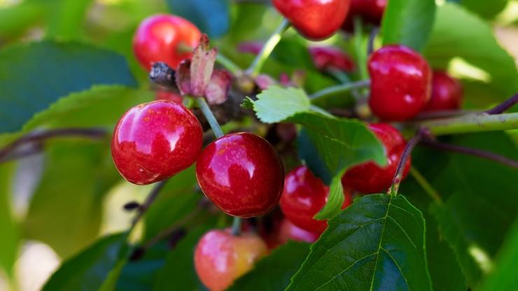 Wzór umowy kontraktowej dla producentów owoców ma powstać do 25 lipca