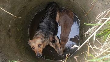 """Sarna i pies w studni. """"Były wyziębione, przestraszone"""". Do akcji wkroczyli strażacy"""