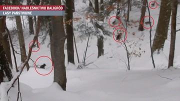 W Bieszczadach wataha wilków zaatakowała niedźwiedzicę z młodymi