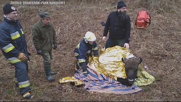 Pod młodą samicą żubra zarwał się lód. Z pomocą ruszyli strażacy i przyrodnicy - 60 osób