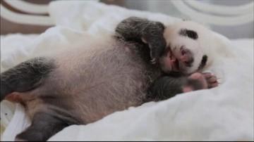 Miesięczna panda przechodzi badania. Ten film trzeba zobaczyć
