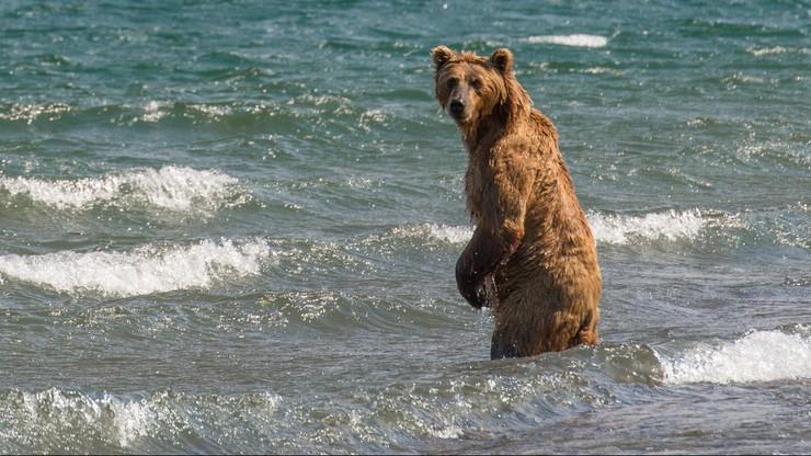 Kibicom na mundialu w Rosji grozi pożarcie przez niedźwiedzie. Ostrzega szef angielskich kibiców