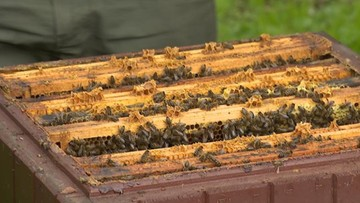 """Pszczoły masowo wymierają. """"Czegoś takiego jeszcze nie widziałem"""""""