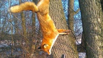 Myśliwy miał przybić lisa gwoździem do drzewa. Fundacja twierdzi, że ustaliła jego tożsamość