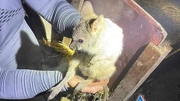 Strażacy uratowali kangury z pożaru