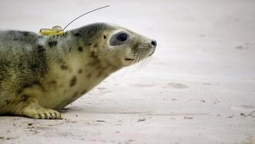Foki ze Stacji Morskiej na Helu uwolnione