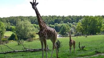 Zmarła żyrafa Dobrawka z poznańskiego zoo. Do jej śmierci mogli przyczynić się zwiedzający