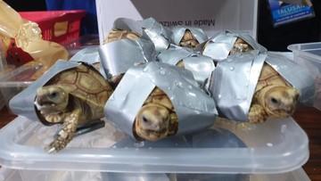 Ponad 1,5 tys. żółwi ukrytych w walizkach. Miały zostać sprzedane na czarnym rynku