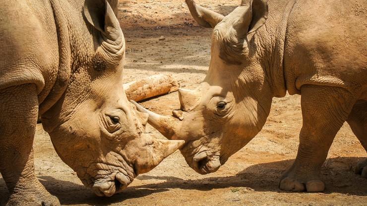 21 rogów nosorożców przechwycono na lotnisku w Bangkoku