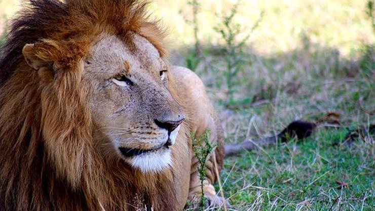 Tanzania. Lwy zabiły troje dzieci z plemienia Masajów