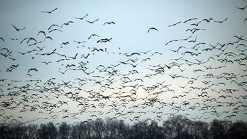 Kolejne ognisko ptasiej grypy w Opolskiem