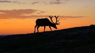 Jelenie na rykowisku - parki narodowe zapraszają na obserwacje