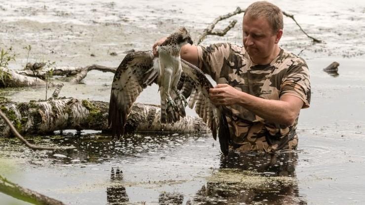 Leśnicy szukają sprawcy postrzelenia rybołowa. Ptak jest pod ścisłą ochroną
