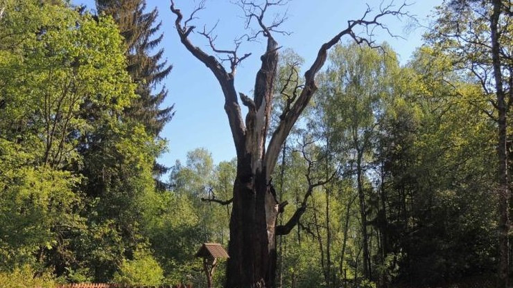 Umiera Chrobry, jeden z najstarszych dębów w Polsce. Rósł ponad 750 lat