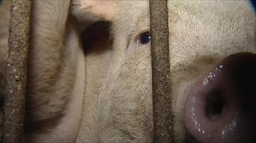 Ministerstwo: konserwy ze świń z terenów ASF wyprodukowano ze zdrowych tuczników